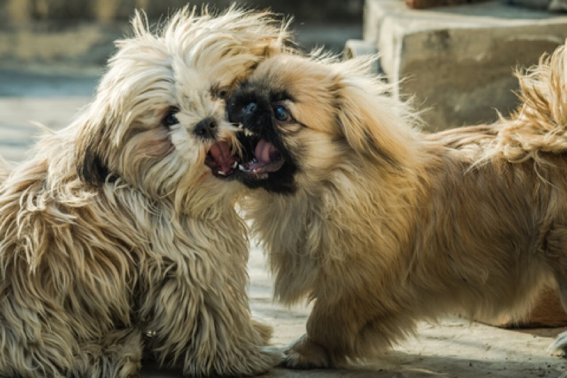 It is important to address shih tzu aggression.