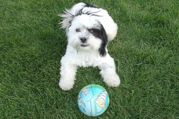 Shih tzu puppy playing with ball.