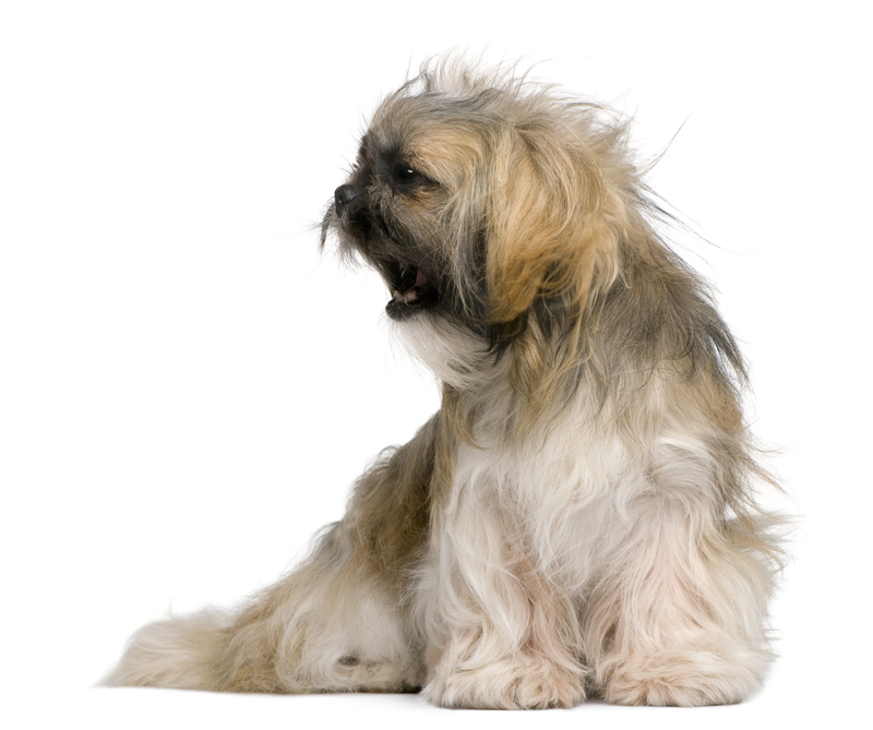 Why Is My Shih Tzu So Aggressive?