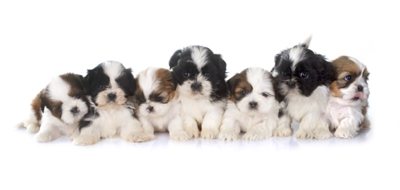 Should I get a shih tzu?