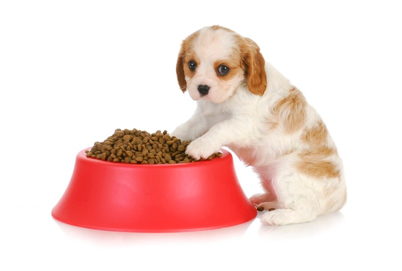 A shih tzu puppy with an oversized food bowl.