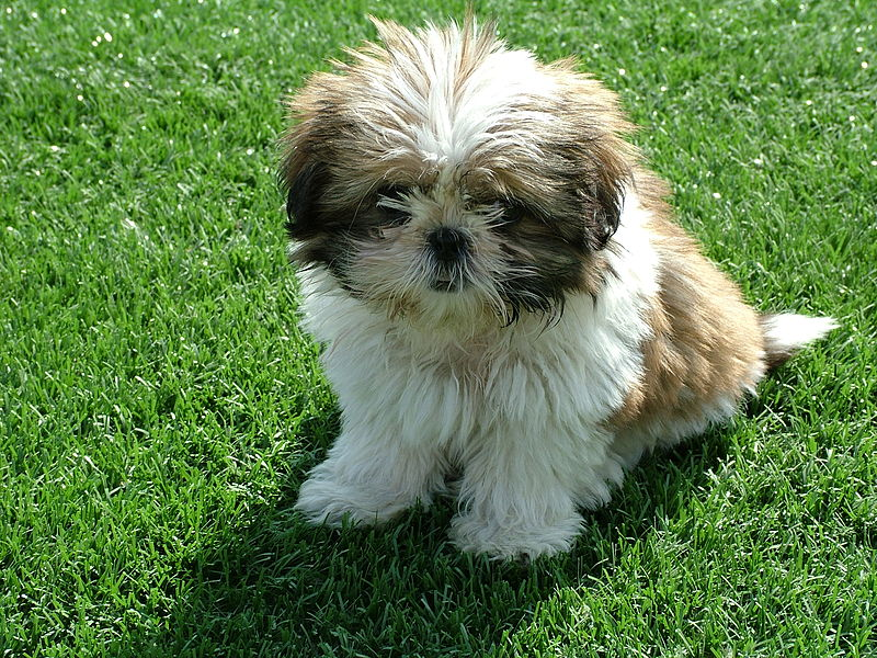 Shih tzu puppy looking for the designated area
