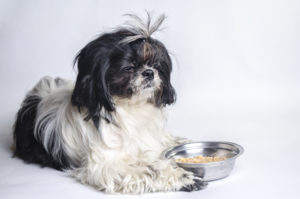 How much food should a shih tzu eat?