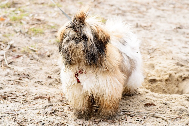 Make sure you bathe your shih tzu often enough.