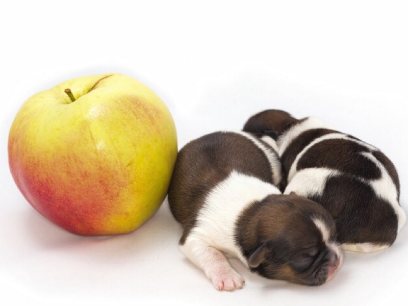 Two shih tzu puppies and an apple.