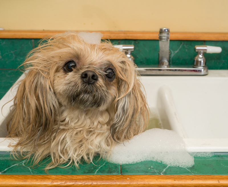 A shih tzu in the sink anticipating a scrub.
