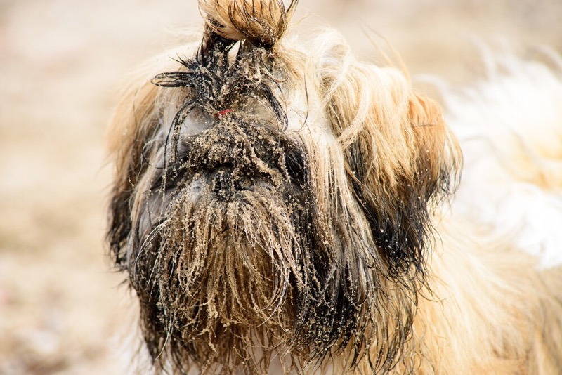 How often should you bathe a shih tzu?