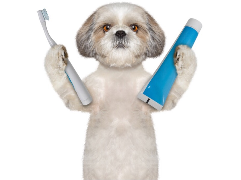 Shih tzu teeth cleaning.