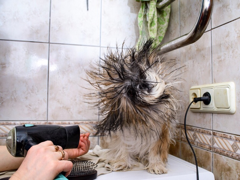 Shih tzu extreme blow drying.