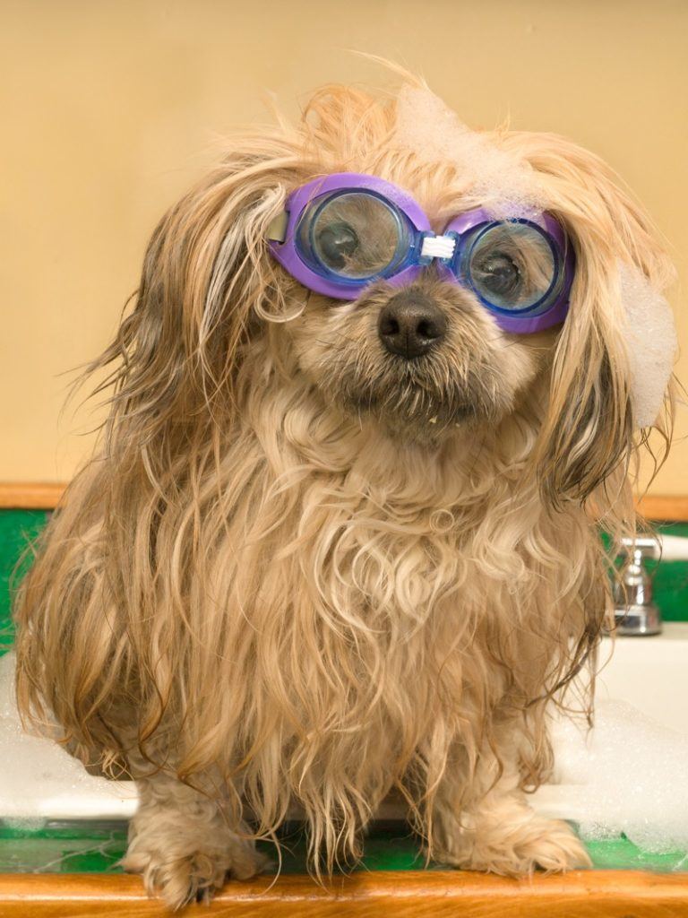 A shih tzu wearing swimming goggles is well prepared for bathing.