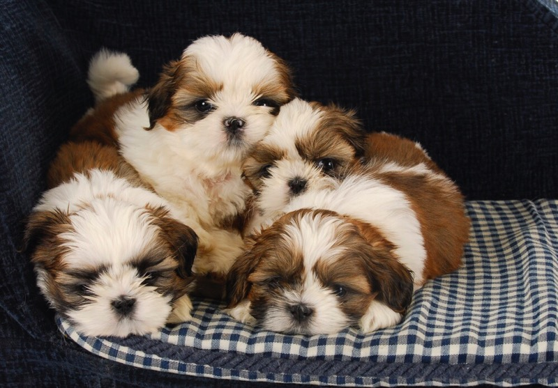 Shih tzu puppies on a cushion.