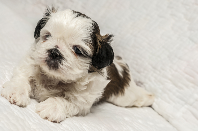 8 week old shih tzu puppy - the earliest age for neutering.