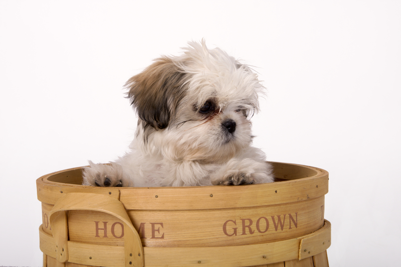 Should you neuter your dog? - The dilemma faced by all shih tzu owners.