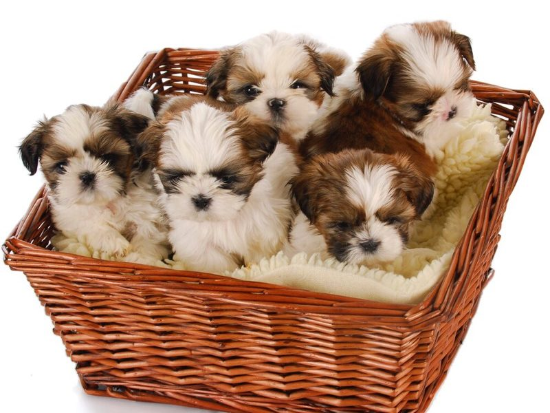Popular Names For Shih Tzu Puppies – The Top 10 Surveyed