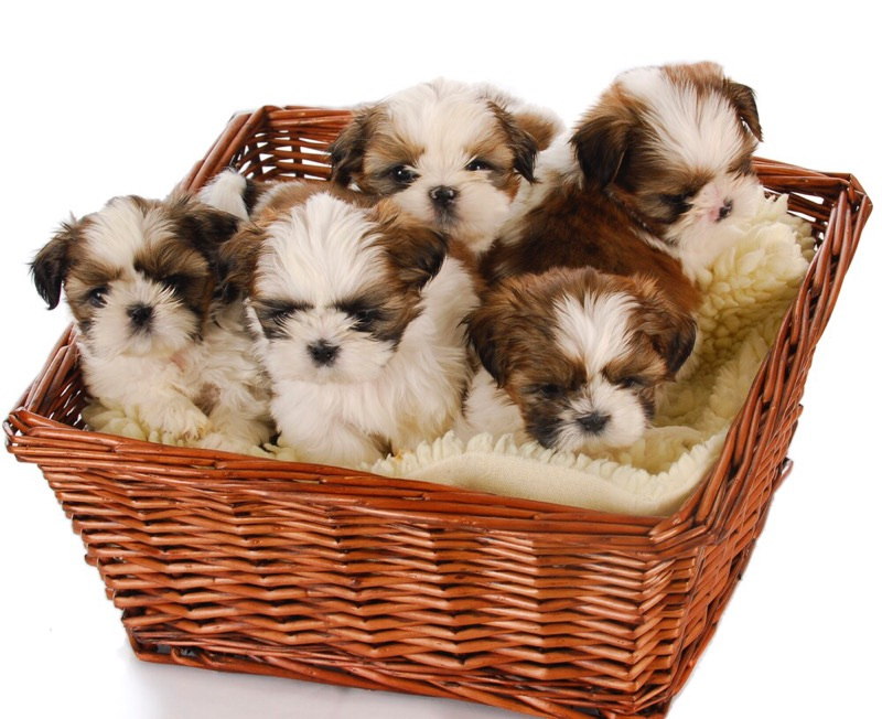 Shih tzu puppies in a basket.