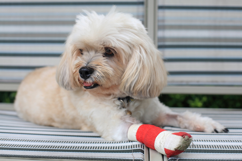 An injured shih tzu wearing a white and red bandage.