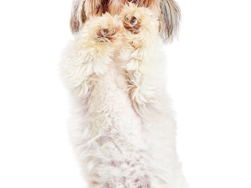 Shih Tzu Paw Problems – How To Cope With Them