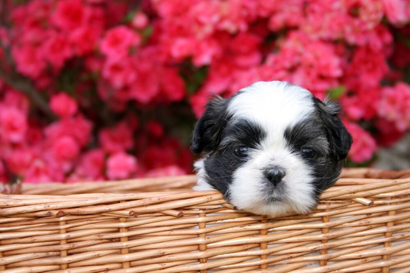 Shih tzu puppy in a basket.