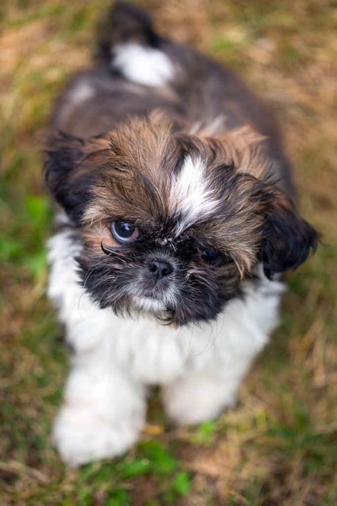Popular names for shih tzu puppies.