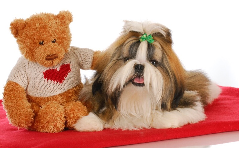Teddy bear and shih tzu.