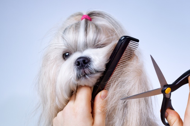 Grooming a shih tzu with comb and shears.