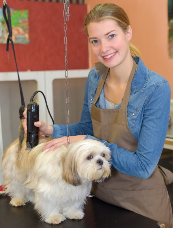 A groomer using clippers on a shih tzu.