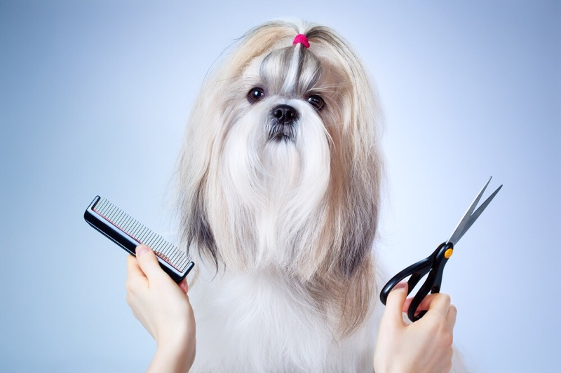 Happy shih tzu dog grooming.