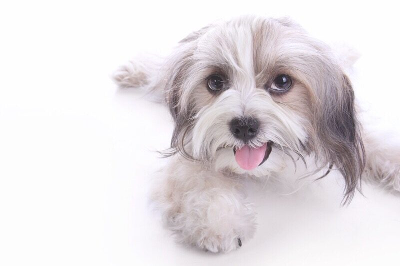 How To Make Your Shih Tzu Happy