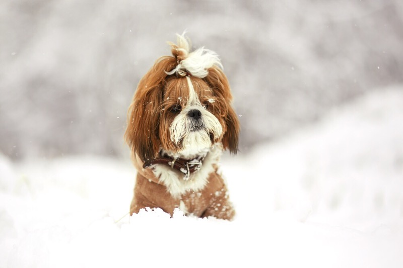 A happy shih tzu in the snow.