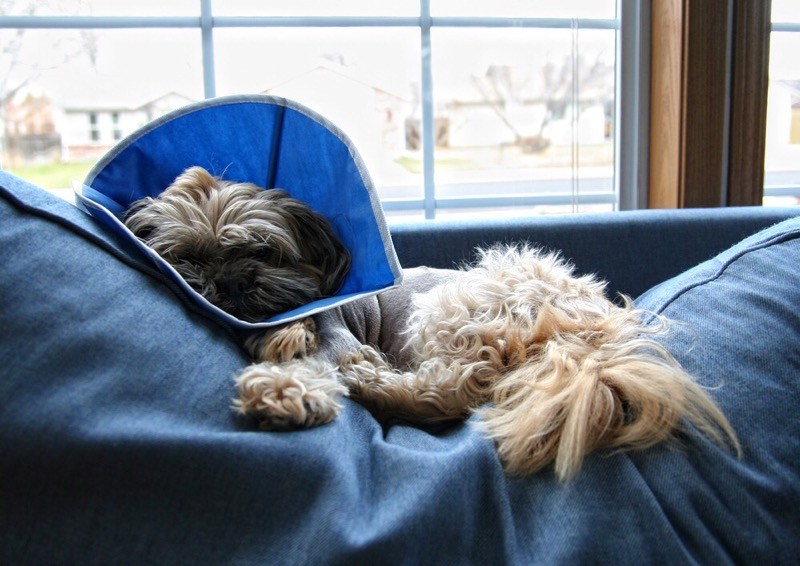 Shih tzu common health problems.