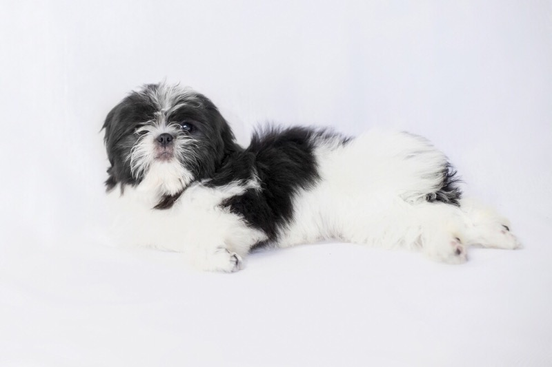A cute black and white shih tzu lying on its side.