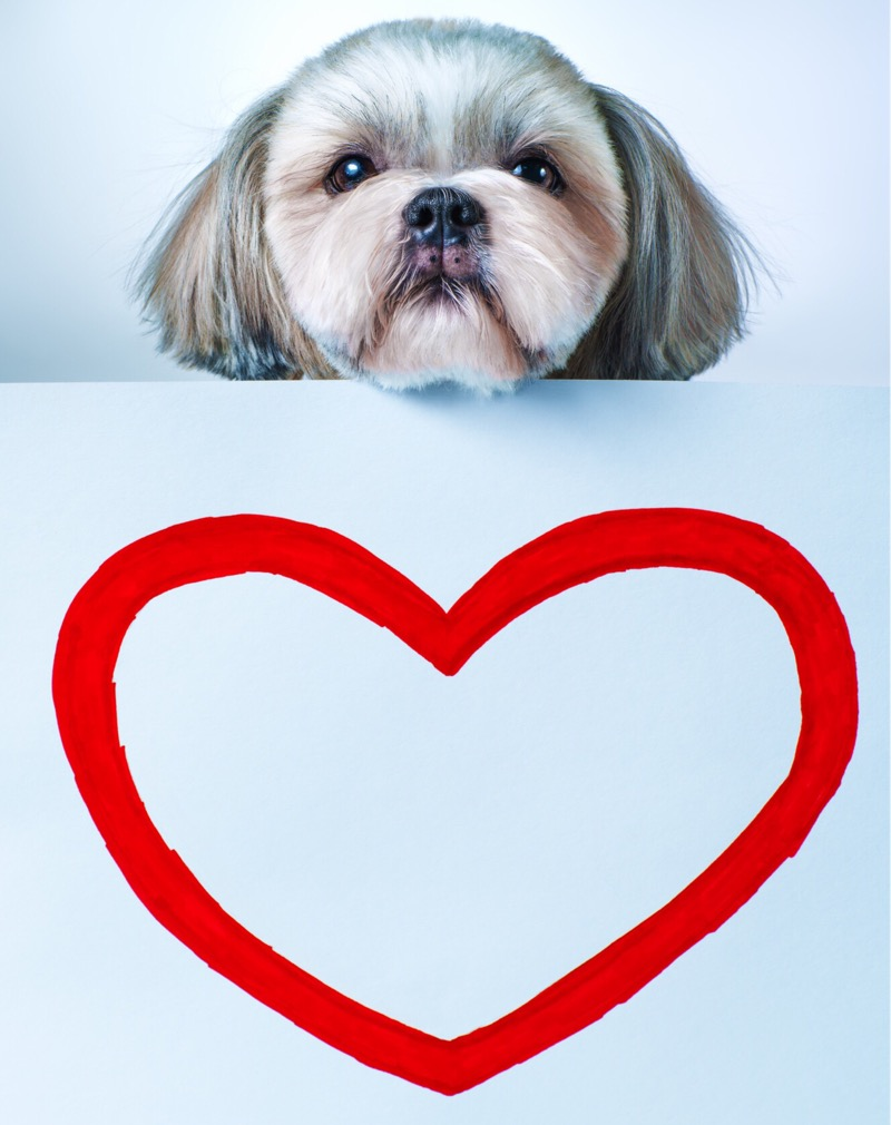 A shih tzu with a heart.