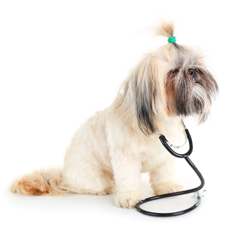 A cute shih tzu wearing a stethoscope.