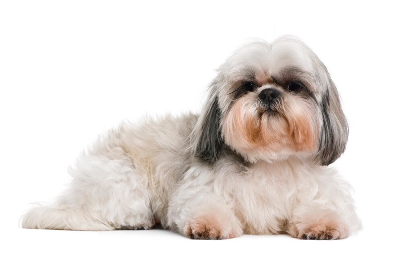 A shih tzu sporting a teddy bear cut.