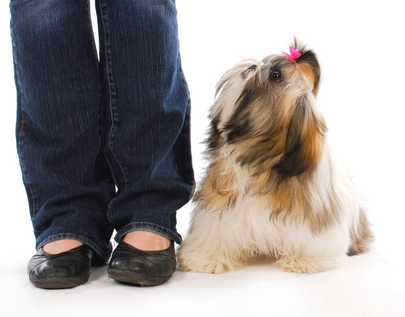 Teaching your shih tzu right from wrong.