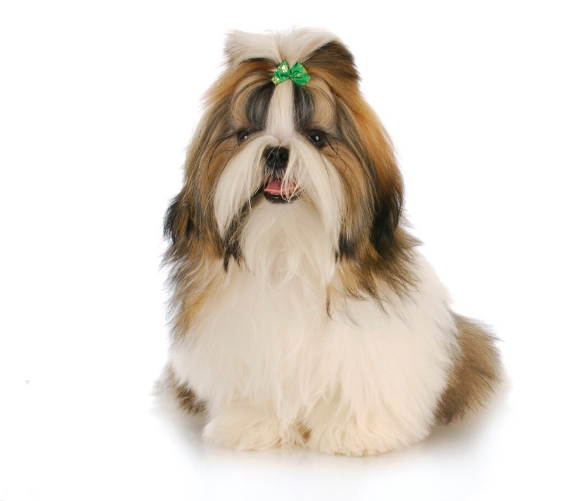 A shih tzu groomed in the practical top knot style.