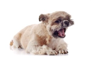 How to stop a shih tzu from being aggressive.