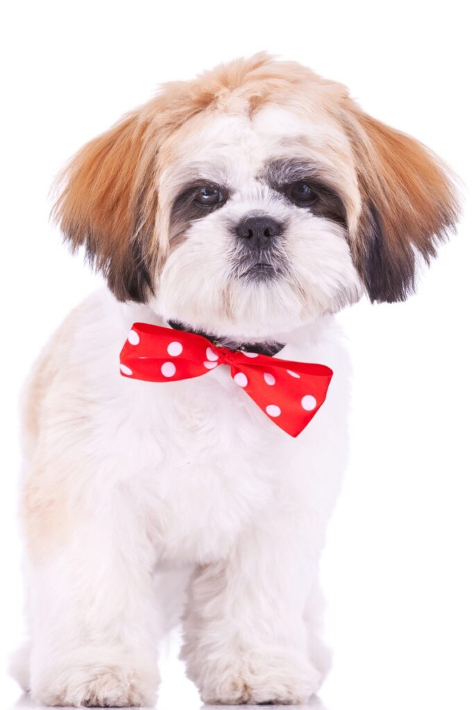A shih tzu sporting a short puppy cut, otherwise known as a summer cut.