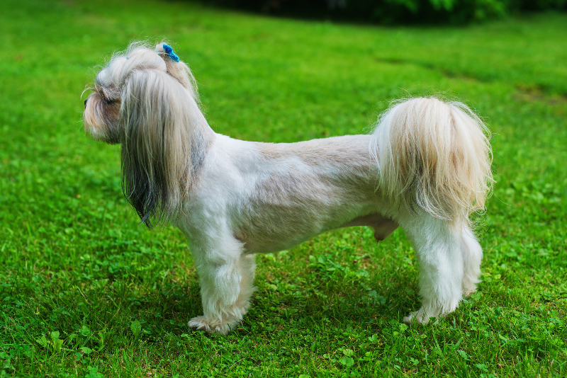 A shaved shih tzu with his ears and tail left long.