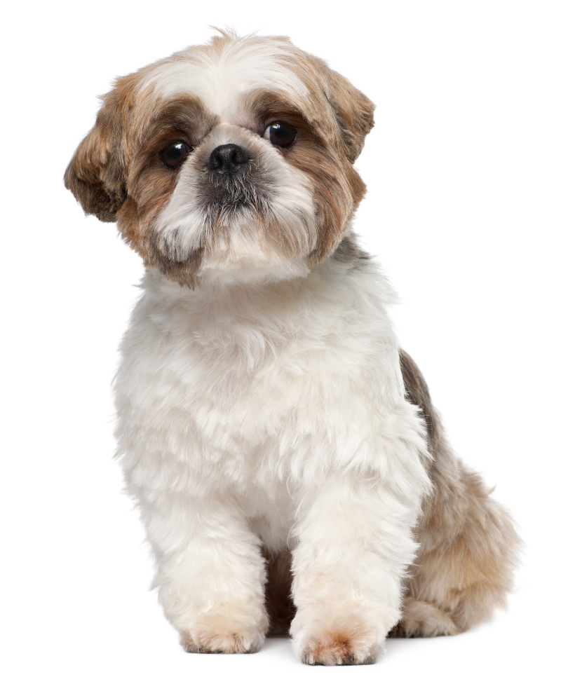 A shih tzu sporting a moderate puppy cut.
