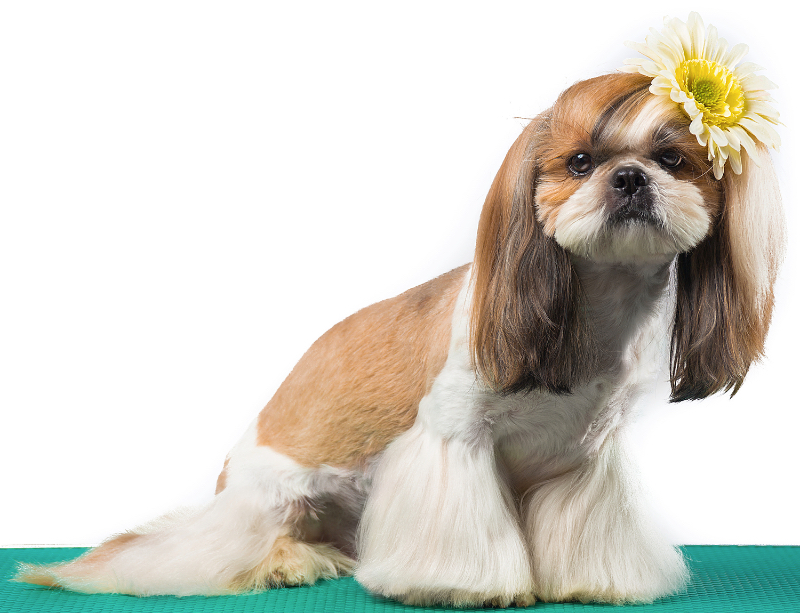 A shih tzu sporting a flared bottom style haircut.
