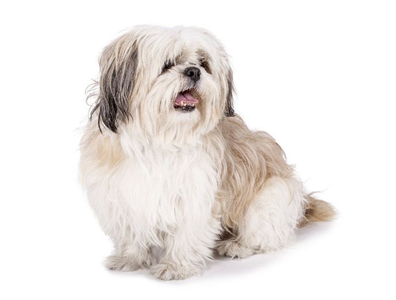 A shih tzu sporting a medium length haircut.