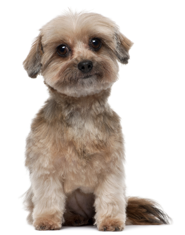 A shih tzu bearing a rounded face trim.