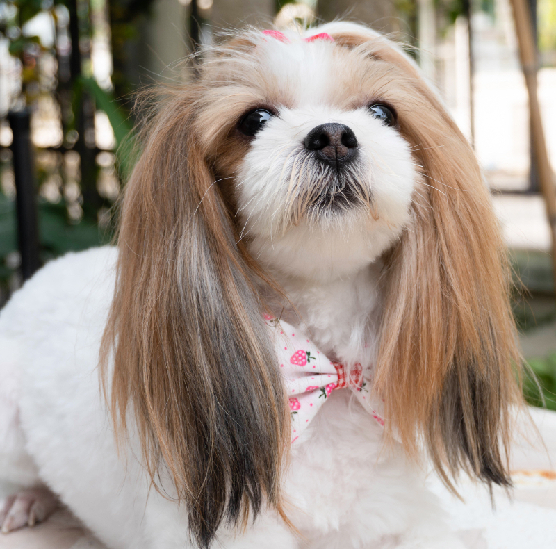 A shih tzu with a short coat and full top.