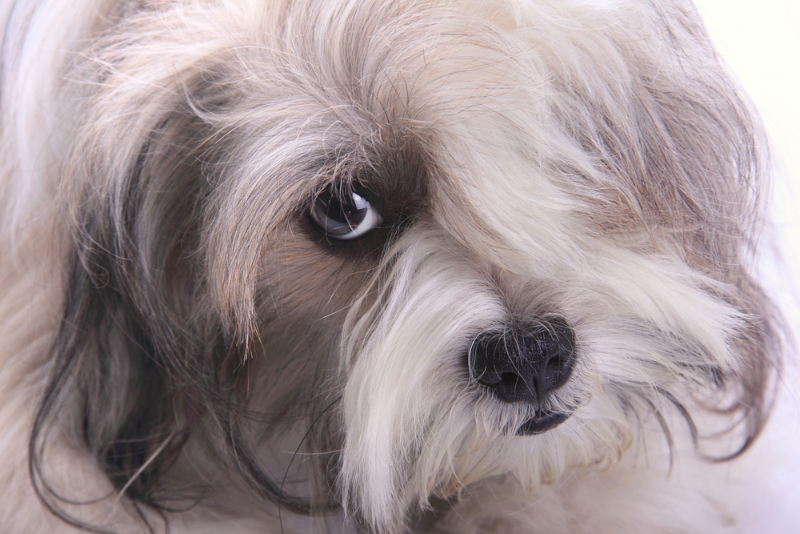 A stressed-looking shih tzu.