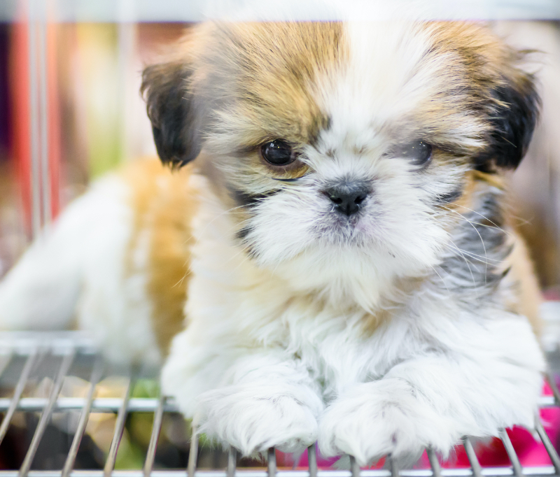 What size crate for a shih tzu?