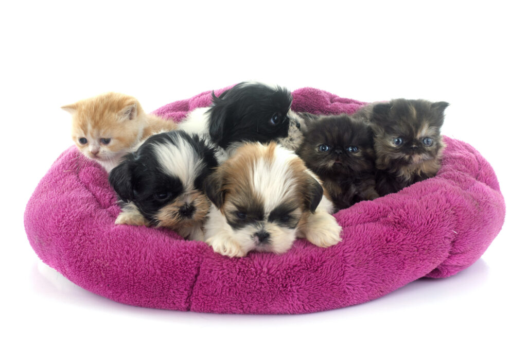 Shih tzu puppies and kittens in an overcrowded donut bed.