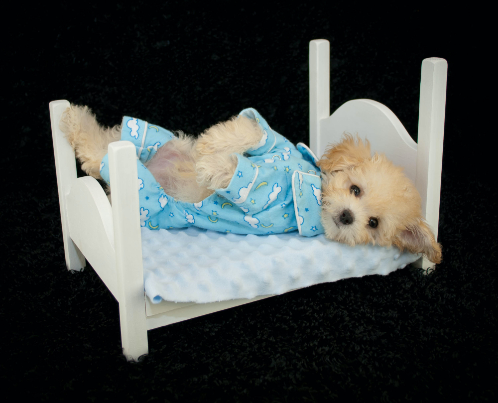 A shih tzu resting in an elevated bed of sorts.