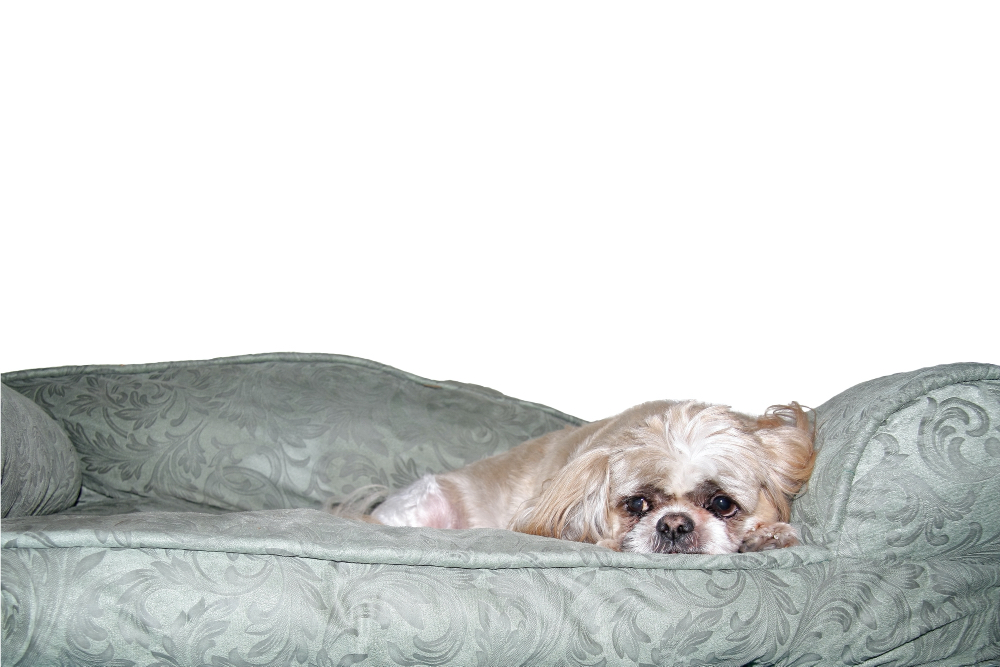 A shih tzu contemplating life while resting on an orthopedic bed.