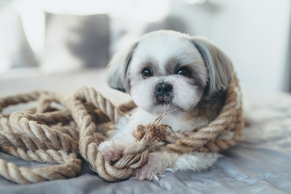 A miniature shih tzu puppy playing with a rope.